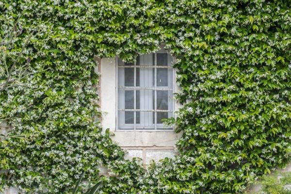 Comment planter du jasmin ? - Comment planter du jasmin étoilé ?