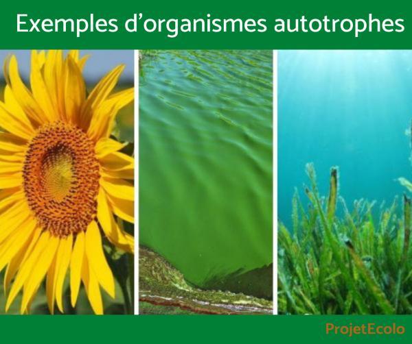 Organisme autotrophe - Définition, caractéristiques, exemples - Exemples d'organismes autotrophes