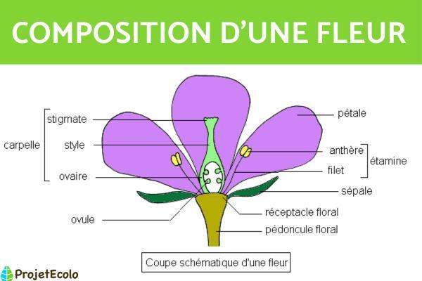 Composition d'une fleur - Les différentes parties d'une fleur - Composition d'une fleur - Les différentes parties d'une fleur