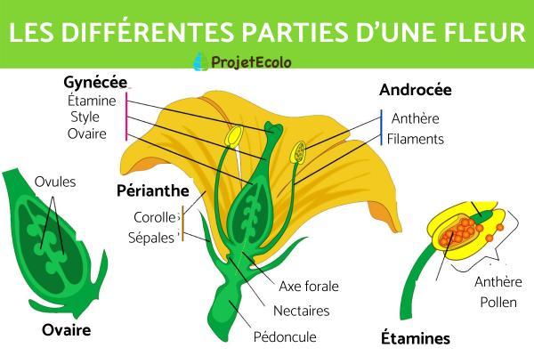 Composition d'une fleur - Les différentes parties d'une fleur