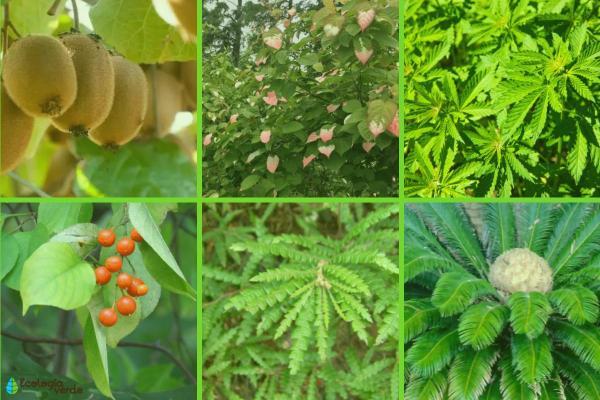 Plante dioïque : Définition, liste et exemples - Liste de plante dioïque