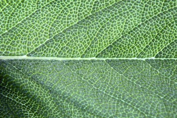 Qu'est-ce que la chlorophylle ? – Types et définition - Qu'est-ce que la chlorophylle ? – Définition de chlorophylle