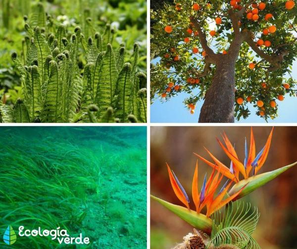 Règne Plantae : Définition, caractéristiques, classification et exemples - Classification du règne Plantae