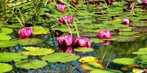 +50 plantes aquatiques pour bassin - Noms et caractéristiques