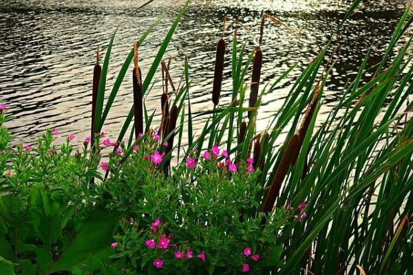 +50 plantes aquatiques pour bassin - Noms et caractéristiques - Qu'est-ce qu'une plante palustre pour bassin ?
