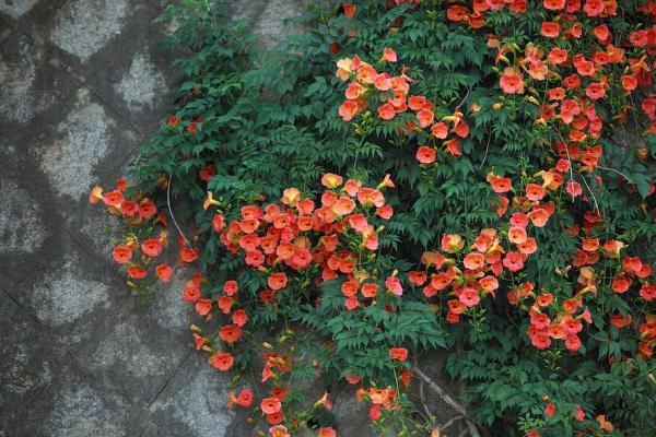 Plantes grimpantes - Liste, d'intérieur, extérieur et fleuries - Bignone ou Trompette de Virginie