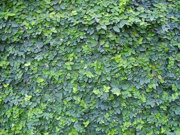 Plantes grimpantes - Liste, d'intérieur, extérieur et fleuries - Figuier nain