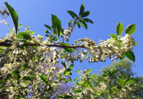 Plantes grimpantes - Liste, d'intérieur, extérieur et fleuries - Jasmin ou lilas de nuit, une plante grimpante fleurie