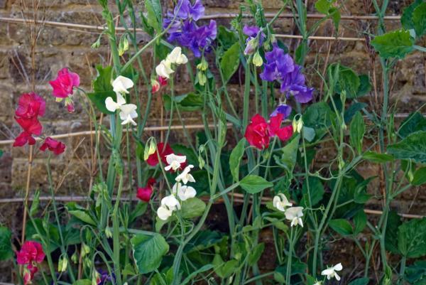 Plantes grimpantes - Liste, d'intérieur, extérieur et fleuries - Lathyrus odoratus ou pois de senteur