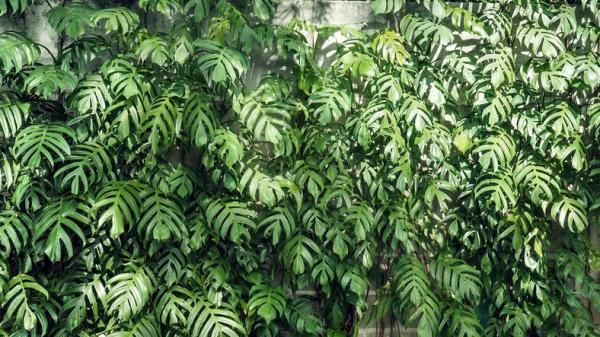 Plantes grimpantes - Liste, d'intérieur, extérieur et fleuries - Monstera deliciosa