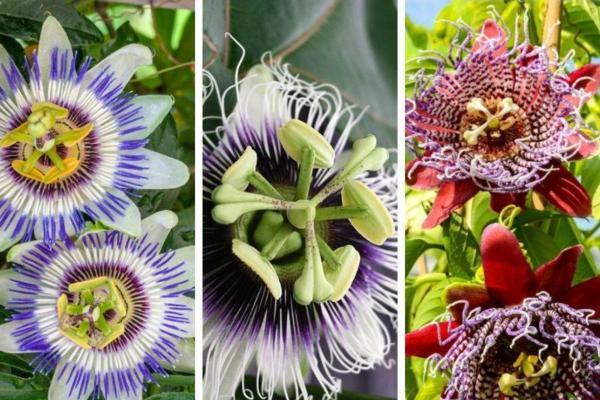 Plantes grimpantes - Liste, d'intérieur, extérieur et fleuries - Passiflora