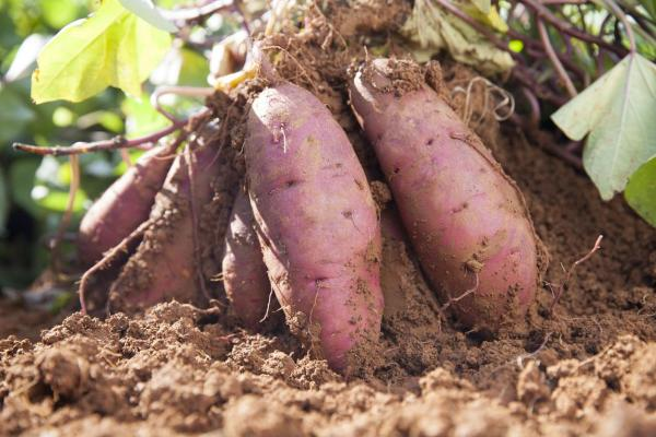 Comment cultiver des patates douces