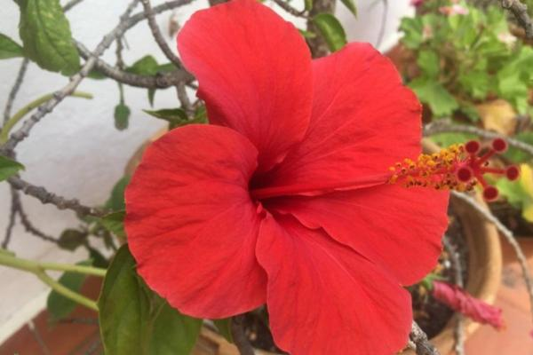16 plantes de plein soleil - Liste et photos - Hibiscus