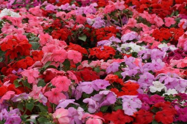 16 plantes de plein soleil - Liste et photos - Impatiens hawkeri