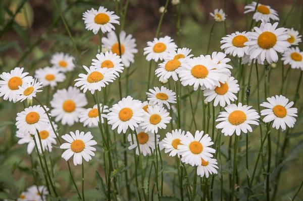 16 plantes de plein soleil - Liste et photos - Marguerites : les plantes à fleurs les plus résistantes au soleil