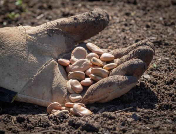 Comment planter des fèves ?