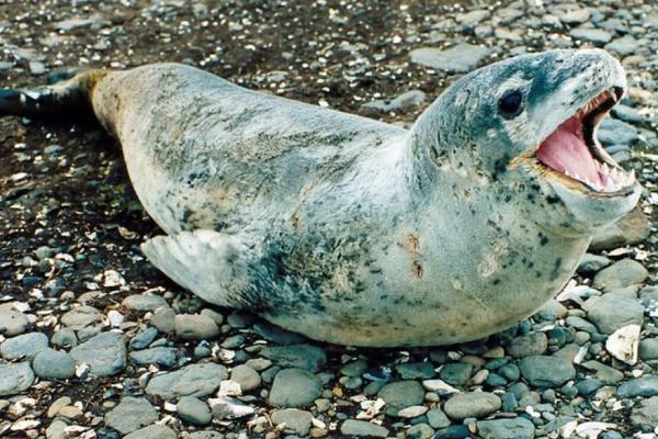 Animaux de l'Antarctique - Noms, caractéristiques et photos - Léopard des mers (Hydrurga leptonyx)