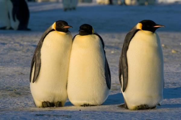 Animaux de l'Antarctique - Noms, caractéristiques et photos - Manchot empereur (Aptenodytes forsteri)
