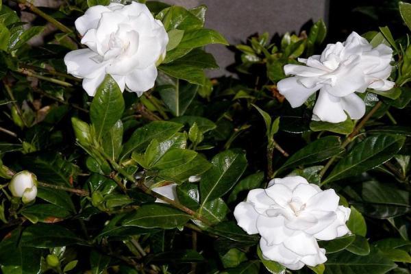 9 types de jasmin - Noms, caractéristiques et photos - Gardenia jasminoide ou jasmin du Cap