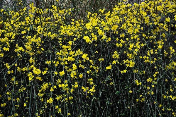 9 types de jasmin - Noms, caractéristiques et photos - Jasminum nudiflorum ou jasmin d'hiver