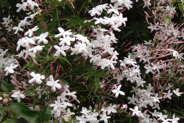 9 types de jasmin - Noms, caractéristiques et photos - Jasminum polyanthum ou jasmin blanc d'hiver