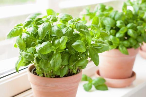 Plantes anti-mouches d'extérieur et d'intérieur - Basilic