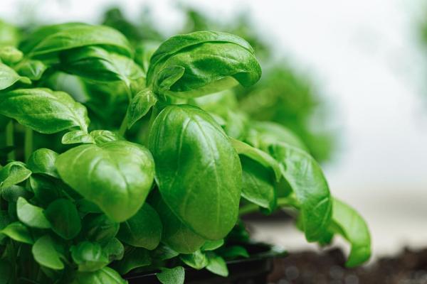 Plantes anti-mouches d'extérieur et d'intérieur