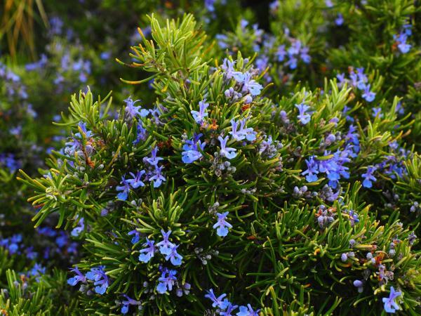 Plantes anti-mouches d'extérieur et d'intérieur - Romarin