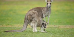 Les marsupiaux - Définition et exemples