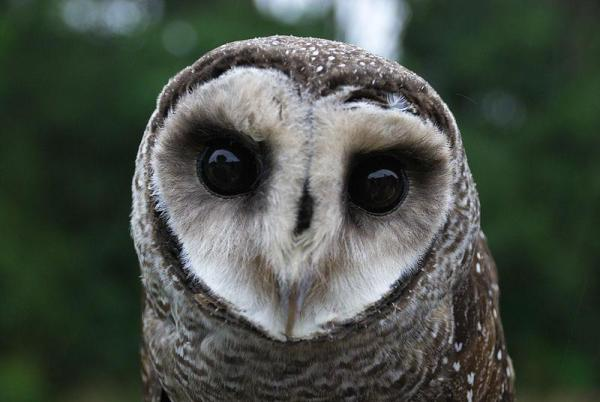 +20 oiseaux d'Australie - Noms et photos - Effraie piquetée