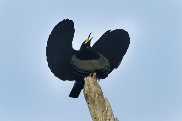 +20 oiseaux d'Australie - Noms et photos - Paradisier de Victoria, un des passereaux d'Australie