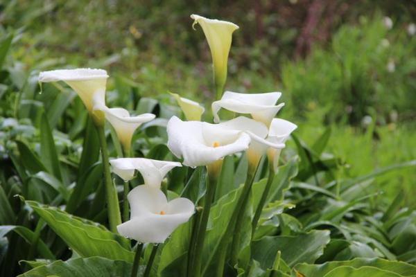 Comment garder un calla comme plante d'intérieur - Entretien - Arrosage et fertilisation