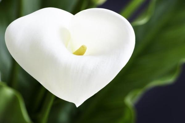 Comment garder un calla comme plante d'intérieur - Entretien - Caractéristiques des callas