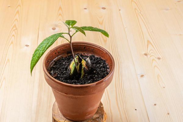 Comment planter un avocat - Comment planter un avocat en pot ?