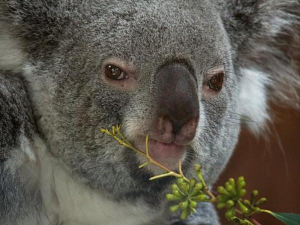 Le koala est-il un animal en voie de disparition ? - Cause de la disparition des koalas