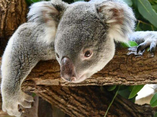 Le koala est-il un animal en voie de disparition ? - Est-ce que le koala est en voie de disparition ?