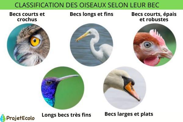 Classification des oiseaux - Définition et photos - Classification des oiseaux en fonction de leur anatomie