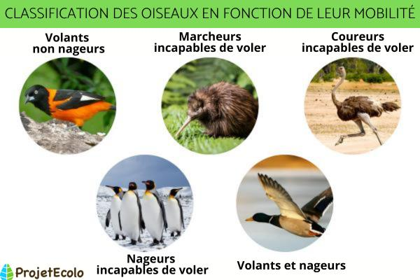 Classification des oiseaux - Définition et photos - Classification des oiseaux en fonction de leur mobilité