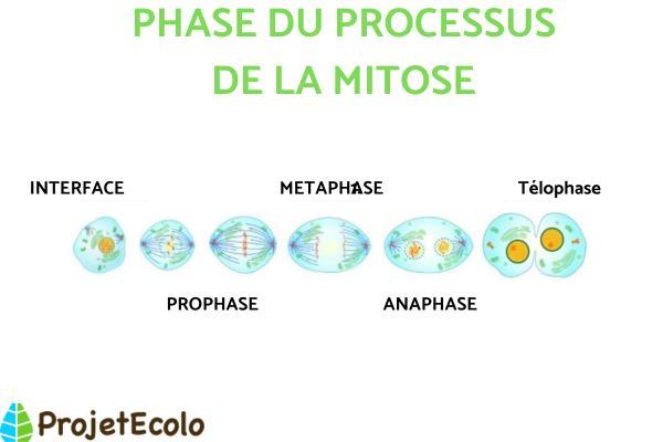 Différence entre méiose et mitose - Qu'est-ce que la mitose - définition et phases