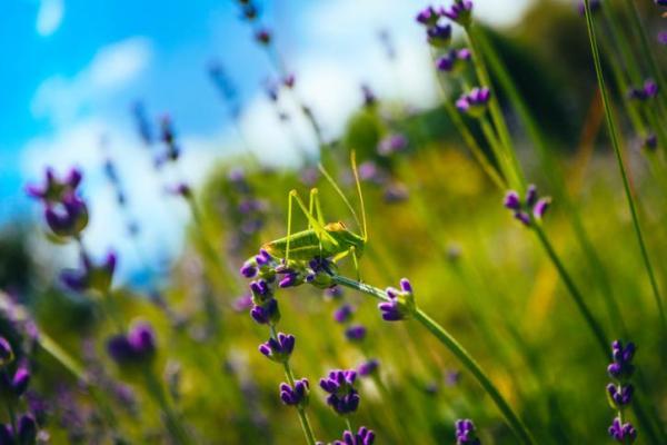 Animaux à sang froid - Liste avec photos - Insectes orthoptères