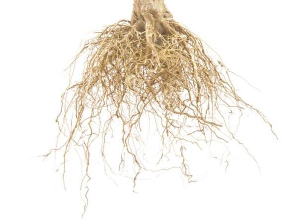Les différents types de racines - Racines fasciculées