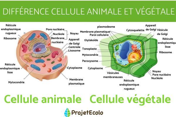 Différence entre cellule animale et végétale