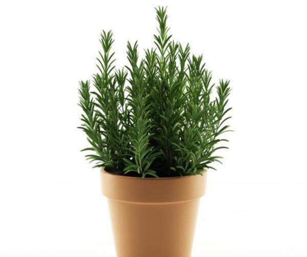 Comment planter du romarin - Comment planter du romarin en pot