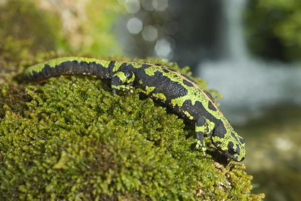 Animaux vertébrés : classification, caractéristiques et exemples - Amphibiens