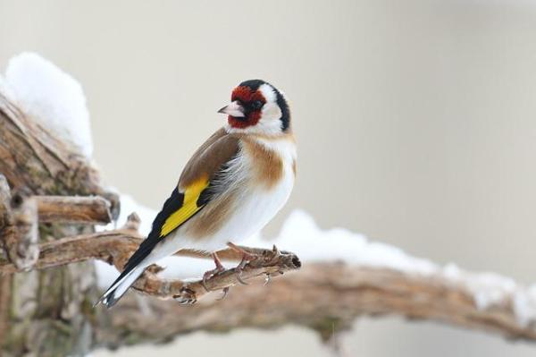 13 oiseaux chanteurs - Chardonneret élégant (Carduelis carduelis)
