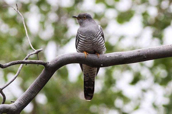 13 oiseaux chanteurs - Coucou gris (Cuculus canorus)