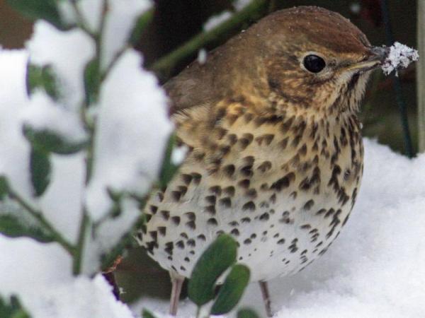 13 oiseaux chanteurs - Grive musicienne (Turdus philomelos)