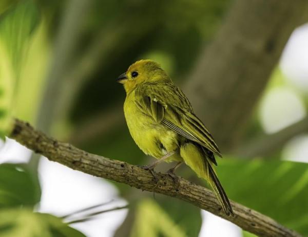 13 oiseaux chanteurs - Le canari (Serinus canaria domestica), l'un des plus célèbres oiseaux chanteurs.