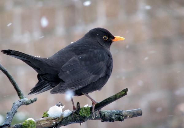 13 oiseaux chanteurs - Merle noir (Turdus merula)