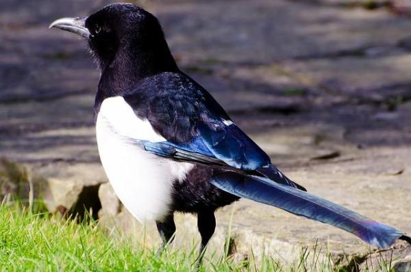 13 oiseaux chanteurs - Pie bavarde (Pica pica)